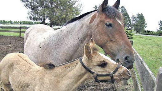 Laboratorio argentino logra la primera clonación de caballo en Latinoamérica