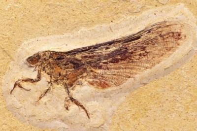 Fósiles misteriosos dan nuevas pistas sobre la evolución de los insectos