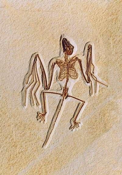 El hallazgo del fósil de murciélago más antiguo aclara el enigma de su evolución