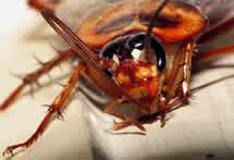 Biotecnología crea una cosecha de energía desde una cucaracha