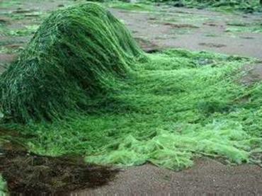 Investigan algas como posible fuente para biocombustibles