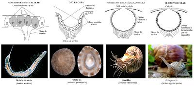 Diferentes etapas de la evolución del ojo